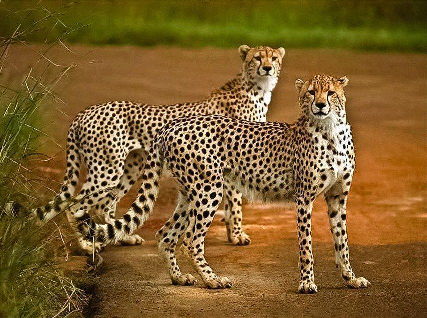 group of cheetahs